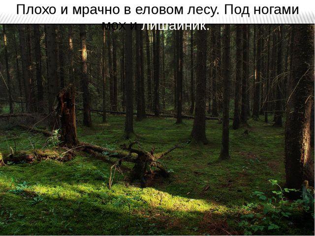 Плохо и мрачно в еловом лесу. Под ногами мох и лишайник.