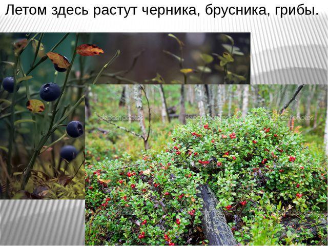 Летом здесь растут черника, брусника, грибы.