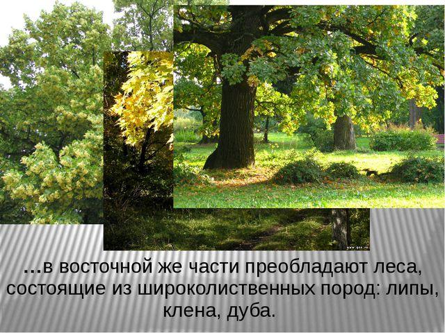 …в восточной же части преобладают леса, состоящие из широколиственных пород:...