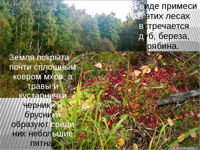 В виде примеси в этих лесах встречается дуб, береза, рябина. Земля покрыта по...