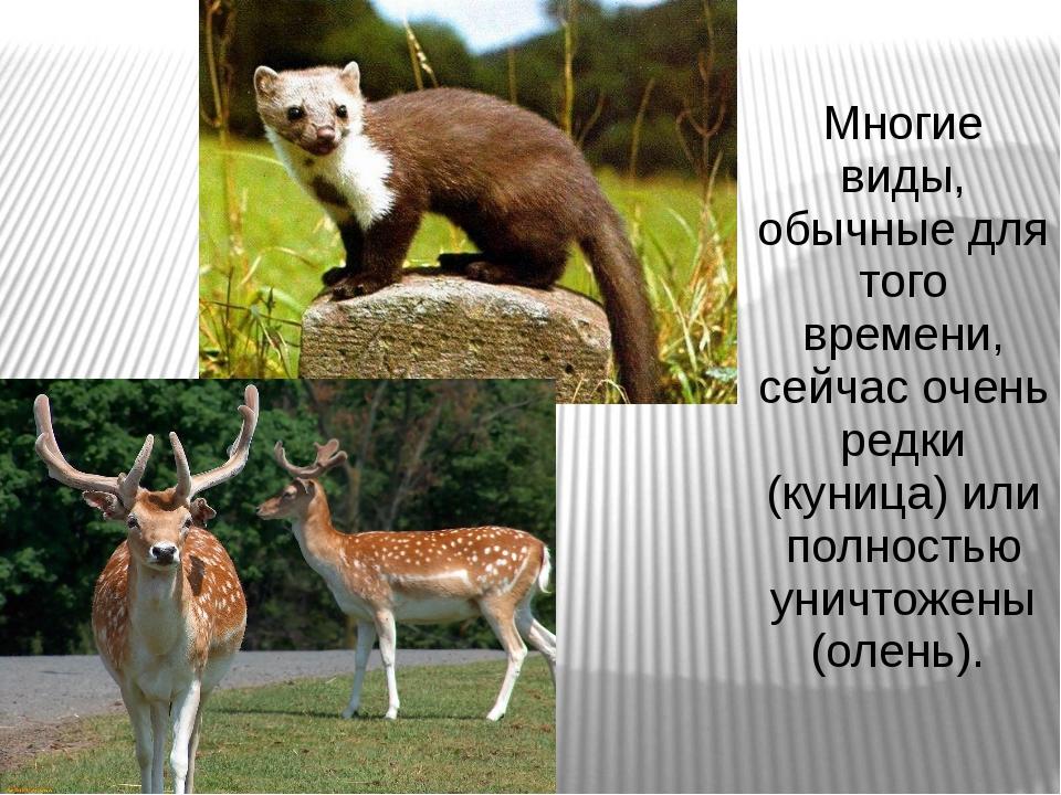 Многие виды, обычные для того времени, сейчас очень редки (куница) или полнос...
