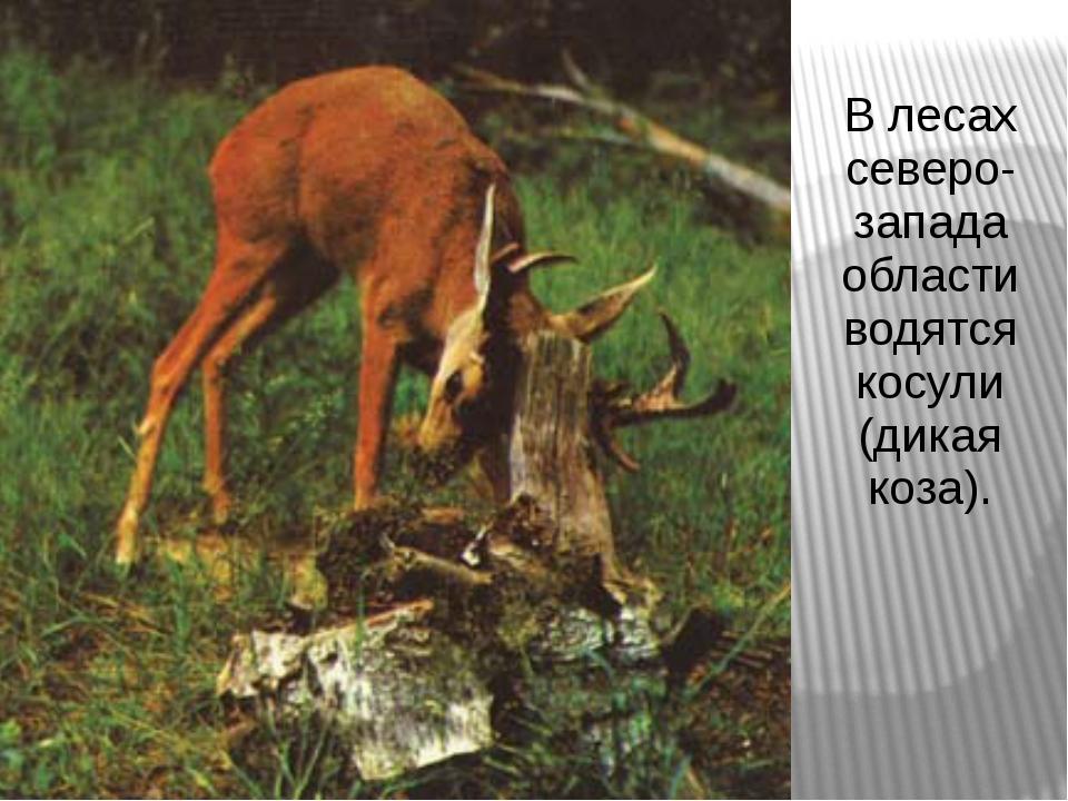 В лесах северо-запада области водятся косули (дикая коза).