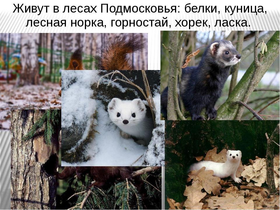 Живут в лесах Подмосковья: белки, куница, лесная норка, горностай, хорек, лас...