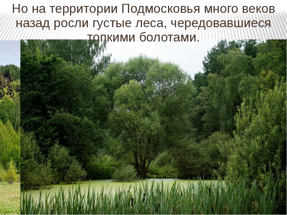 Но на территории Подмосковья много веков назад росли густые леса, чередовавши...