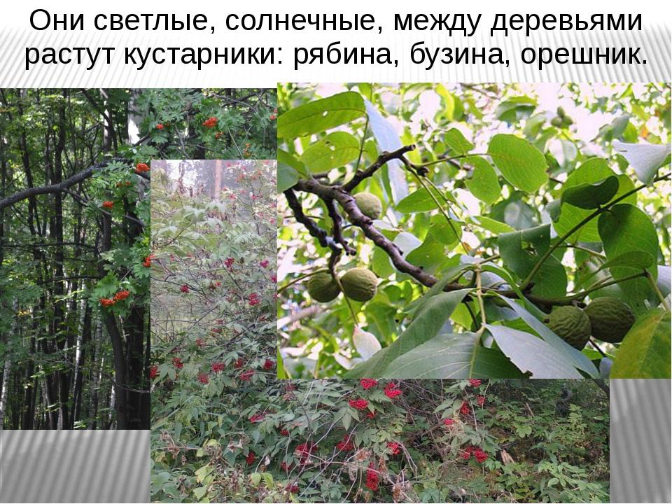 Они светлые, солнечные, между деревьями растут кустарники: рябина, бузина, ор...