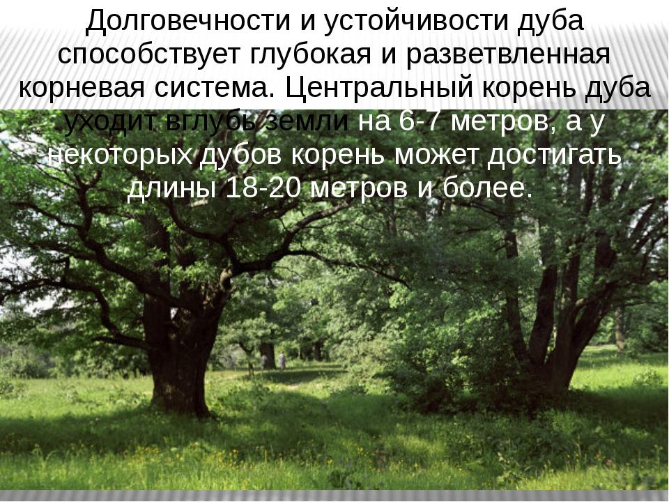 Долговечности и устойчивости дуба способствует глубокая и разветвленная корне...