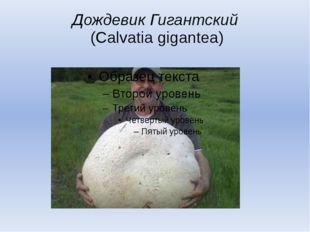 Дождевик Гигантский (Calvatia gigantea)