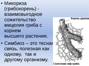 Микориза (грибокорень) - взаимовыгодное сожительство мицелия гриба с корнем