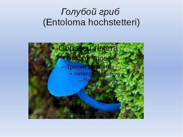 Голубой гриб (Entoloma hochstetteri)