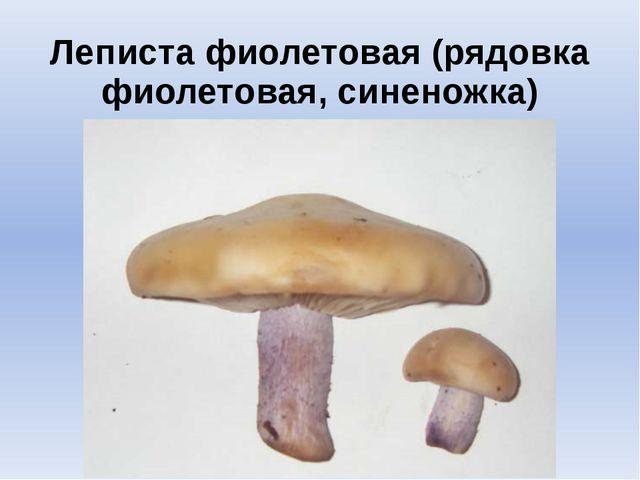 Леписта фиолетовая (рядовка фиолетовая, синеножка)