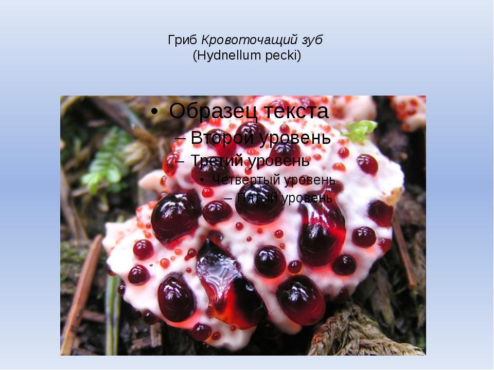 Гриб Кровоточащий зуб (Hydnellum pecki)