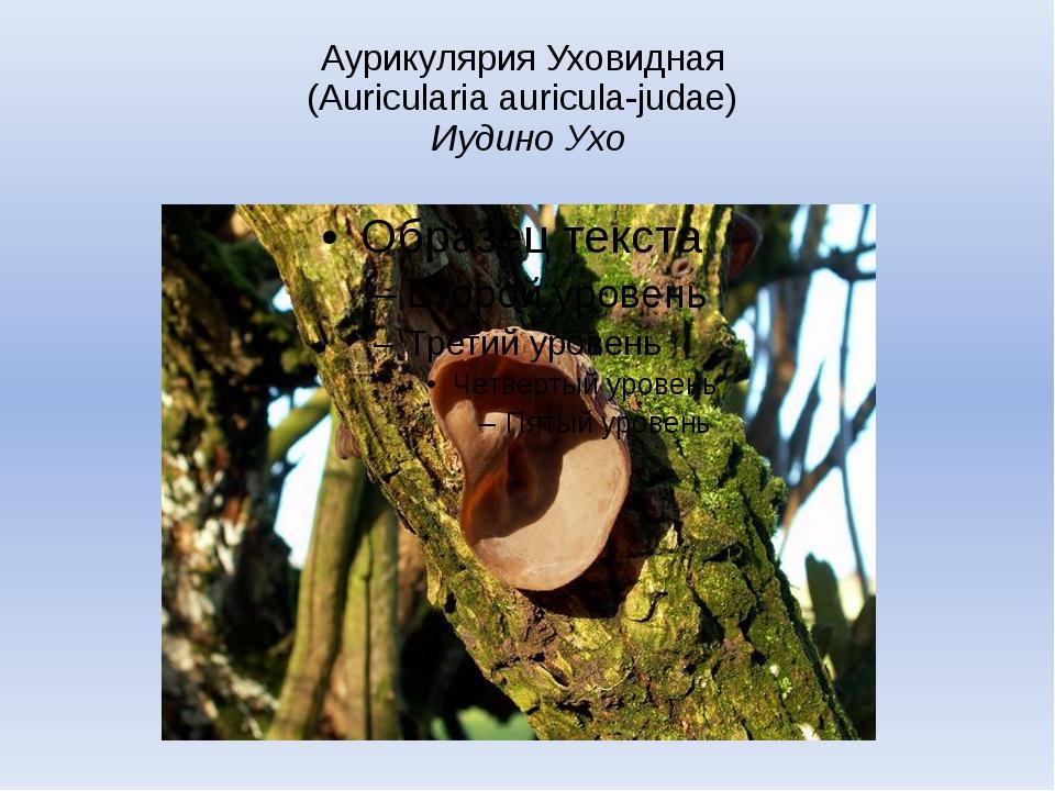 Аурикулярия Уховидная (Auricularia auricula-judae) Иудино Ухо