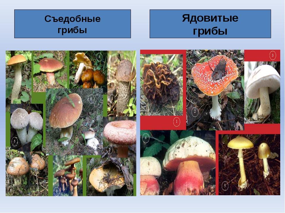 Съедобные грибы Ядовитые грибы