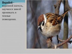 Воробей - коренной житель, научился зимой проникать в теплые помещения.