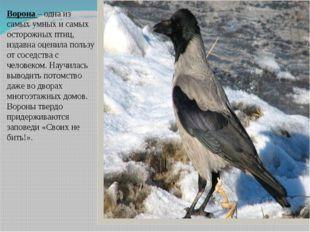 Ворона – одна из самых умных и самых осторожных птиц, издавна оценила пользу