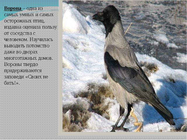 Ворона – одна из самых умных и самых осторожных птиц, издавна оценила пользу...