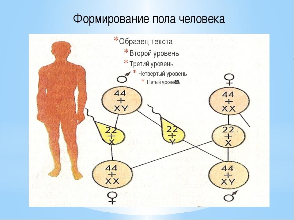 Формирование пола человека