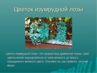 Цветок изумрудной лозы Цветок изумрудной лозы – это редкий вид древесной лиан