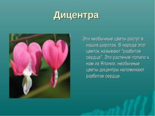 Дицентра Эти необычные цветы растут в наших широтах. В народе этот цветок наз