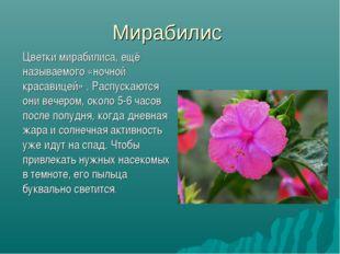 Мирабилис Цветки мирабилиса, ещё называемого «ночной красавицей» . Распускаю