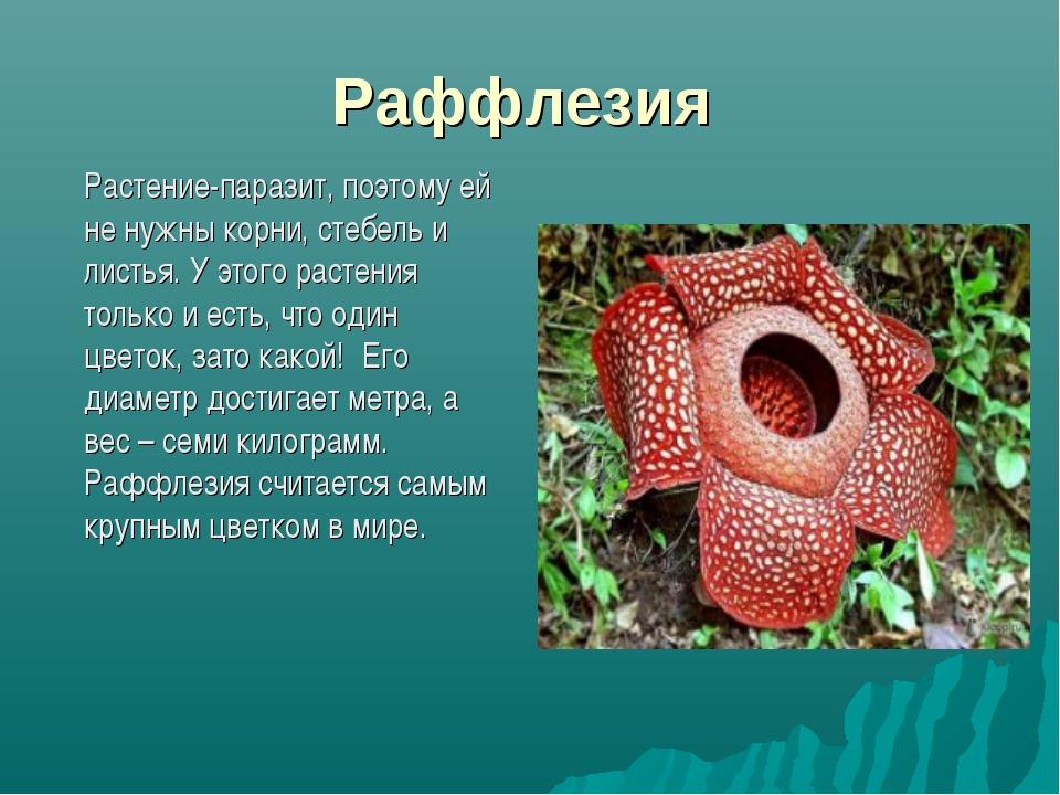 Раффлезия Растение-паразит, поэтому ей не нужны корни, стебель и листья. У э...