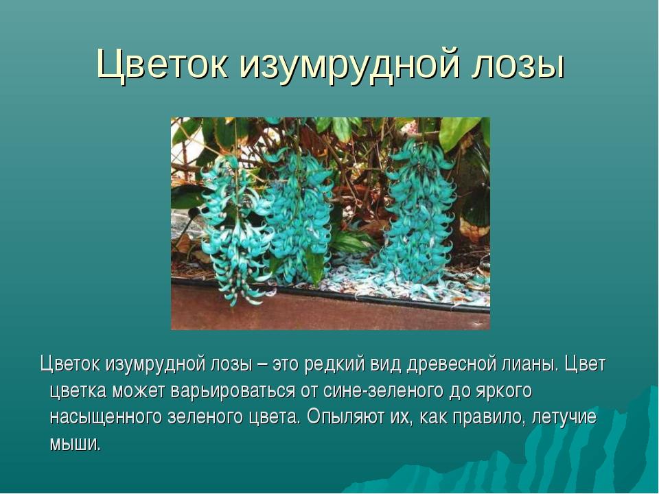 Цветок изумрудной лозы Цветок изумрудной лозы – это редкий вид древесной лиан...