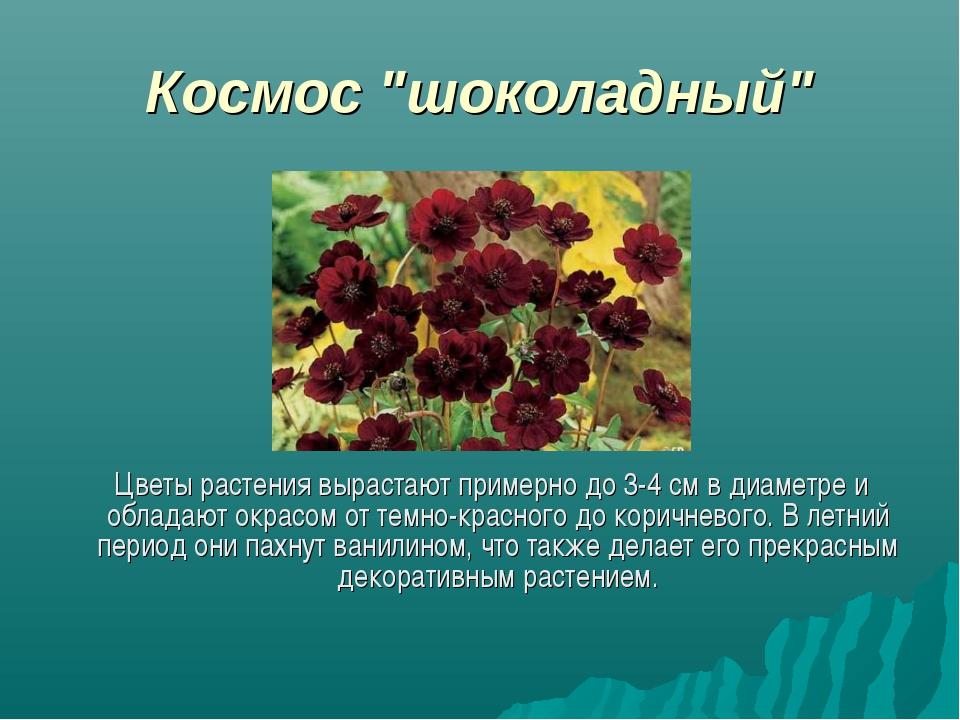 """Космос """"шоколадный"""" Цветы растения вырастают примерно до 3-4 см в диаметре и..."""