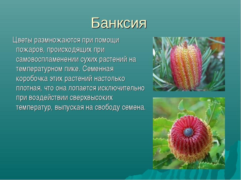 Банксия Цветы размножаются при помощи пожаров, происходящих при самовоспламен...