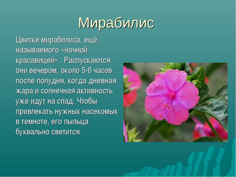 Мирабилис Цветки мирабилиса, ещё называемого «ночной красавицей» . Распускаю...