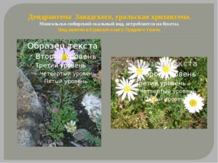 Дендрантема Завадского, уральская хризантема. Монгольско-сибирский скальный в