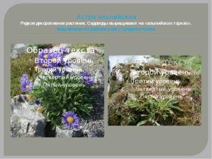 Астра альпийская Редкое декоративное растение. Садоводы выращивают на «альпий