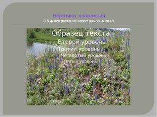 Вероника колосистая Обычное растение известняковых скал.
