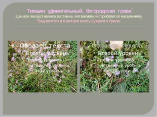 Тимьян удивительный, богородская трава Ценное лекарственное растение, интенси