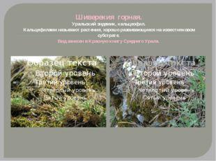 Шиверекия горная. Уральский эндемик, кальцеофил. Кальцефилами называютрастен