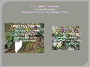 Соссюрея уральская. Уральский эндемик. Вид занесен в Красную книгу Среднего У