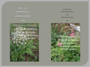 Порезник сибирский, Растение семейства зонтичных, уральский эндемик на извес