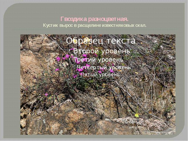 Гвоздика разноцветная. Кустик вырос в расщелине известняковых скал.
