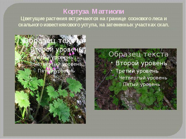 Кортуза Маттиоли Цветущие растения встречаются на границе соснового леса и ск...