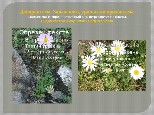 Дендрантема Завадского, уральская хризантема. Монгольско-сибирский скальный в...