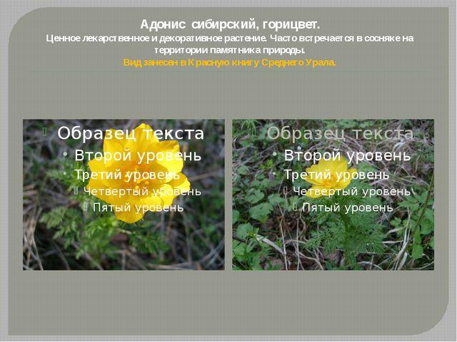 Адонис сибирский, горицвет. Ценное лекарственное и декоративное растение. Час...