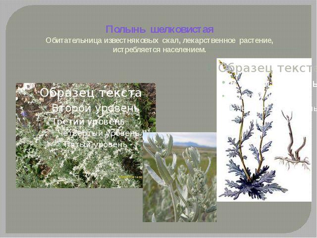 Полынь шелковистая Обитательница известняковых скал, лекарственное растение,...