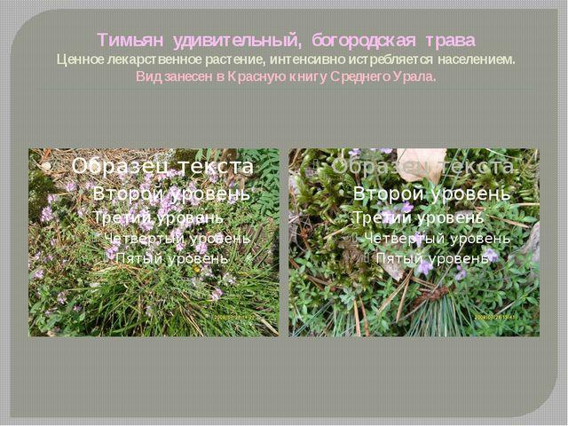 Тимьян удивительный, богородская трава Ценное лекарственное растение, интенси...