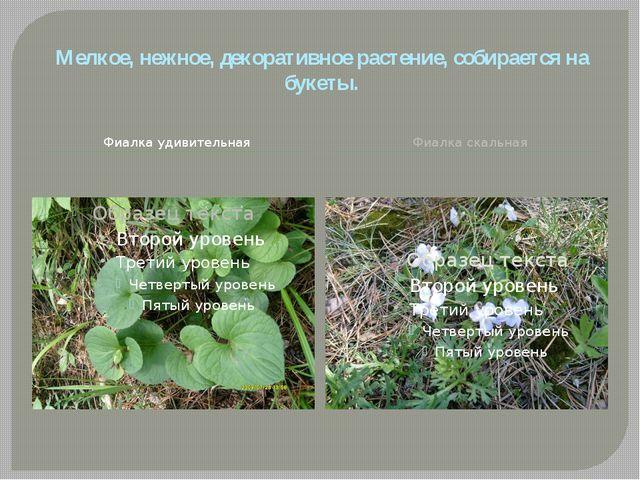 Фиалка удивительная Фиалка скальная Мелкое, нежное, декоративное растение, со...