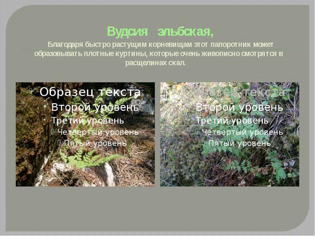 Вудсия эльбская, Благодаря быстро растущим корневищам этот папоротник может...