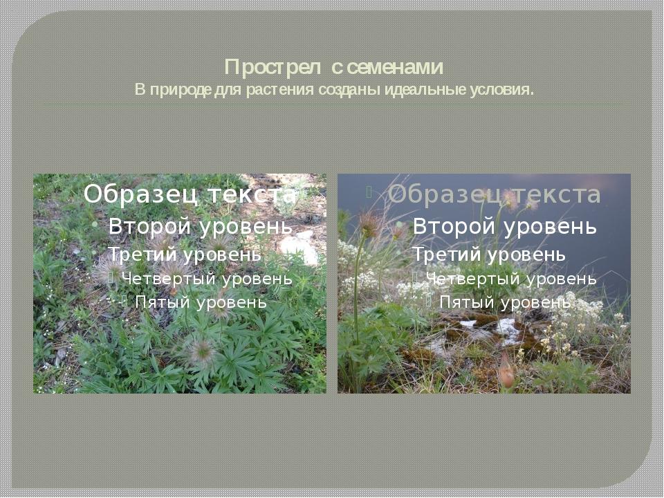 Прострел с семенами В природе для растения созданы идеальные условия.