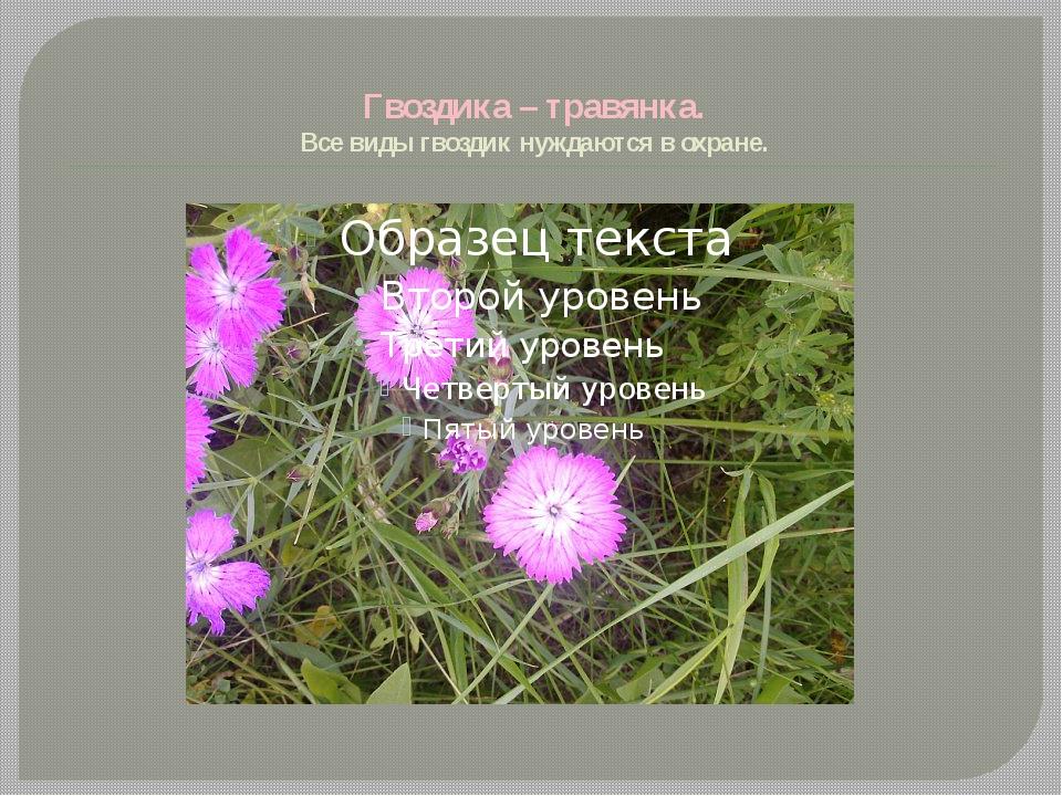 Гвоздика – травянка. Все виды гвоздик нуждаются в охране.