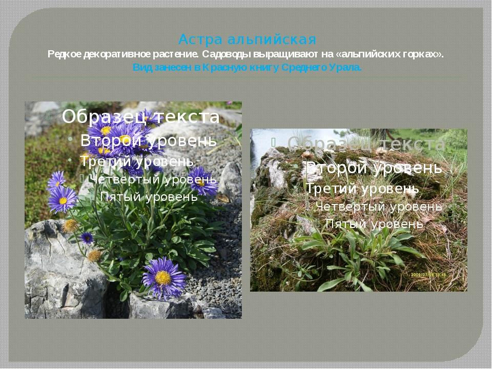 Астра альпийская Редкое декоративное растение. Садоводы выращивают на «альпий...