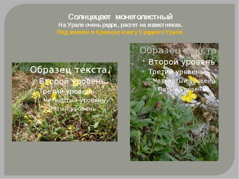 Солнцецвет монетолистный На Урале очень редок, растет на известняках. Вид зан...