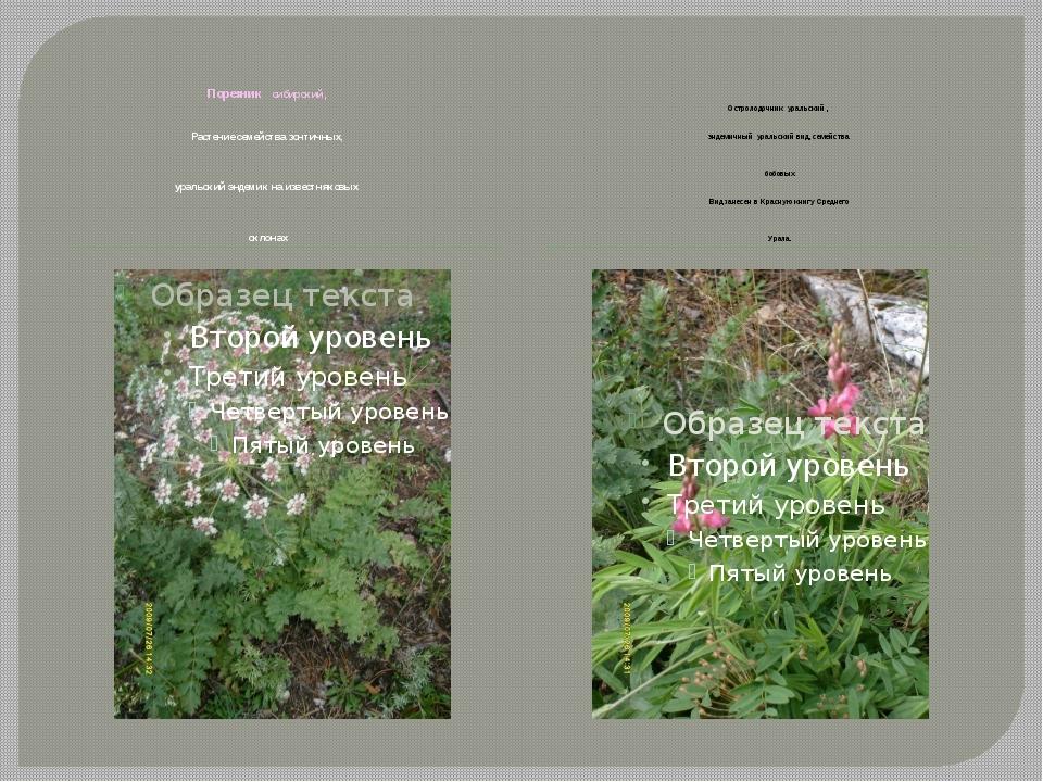 Порезник сибирский, Растение семейства зонтичных, уральский эндемик на извес...