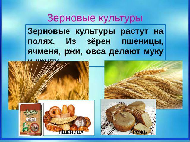 Зерновые культуры растут на полях. Из зёрен пшеницы, ячменя, ржи, овса делаю...